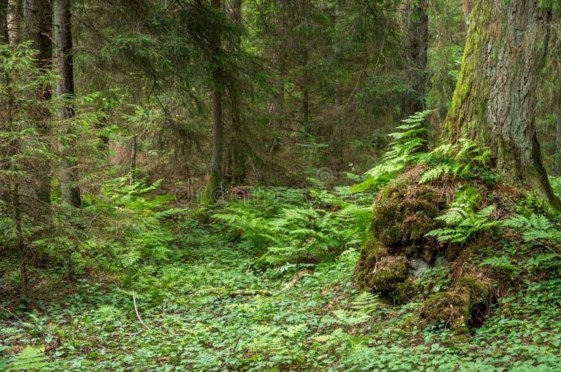 Zielony paprociowy las z starym mech drzewem obrazy stock