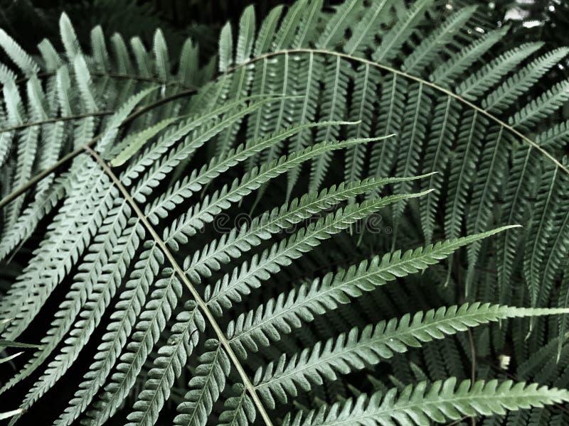 Zielony paprociowy liść na ciemnym tle, Ciemny oświetlenie zdjęcie stock