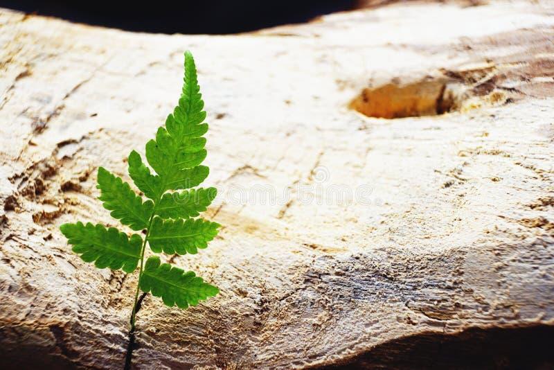 Zielony paprociowy liść na starym drewno deski tle, minimalny natury tła pojęcie, kopii przestrzeń zdjęcie stock