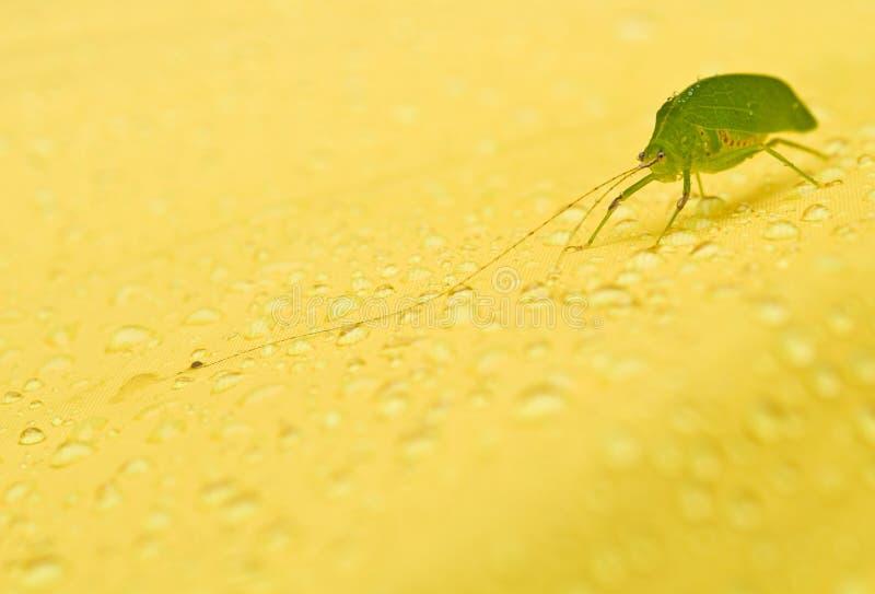 Zielony pasikonik na żółtym tle zdjęcie royalty free
