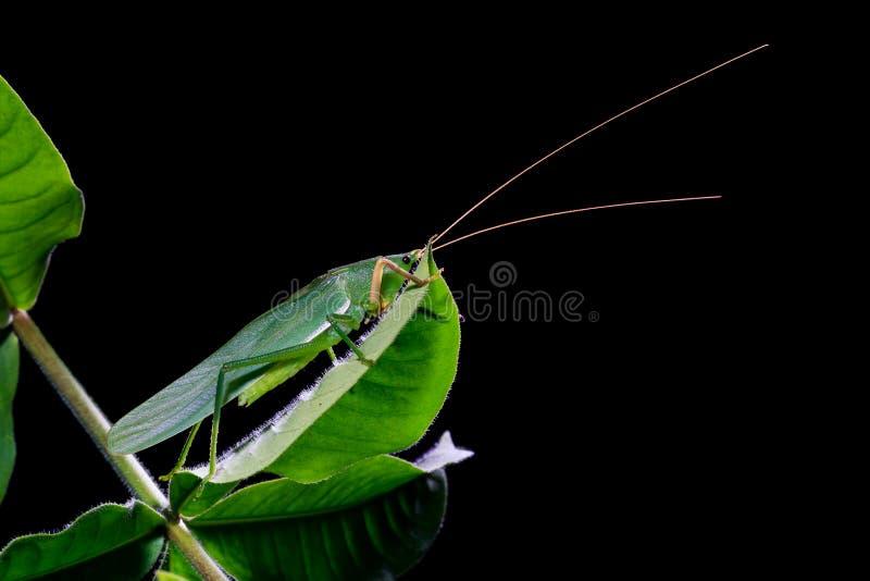 Zielony pasikonik na liściach fotografia royalty free