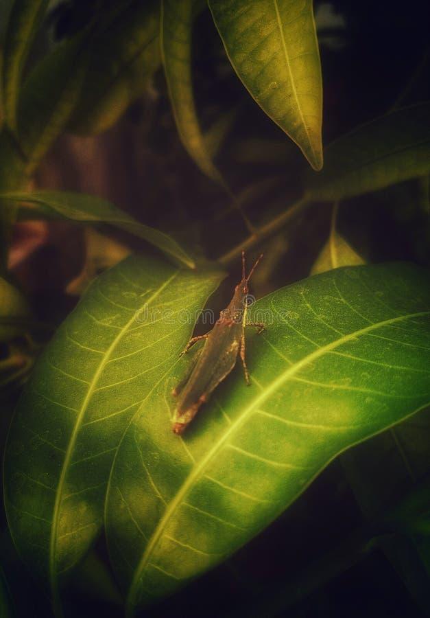 Zielony pasikonik na mangowi liście fotografia stock