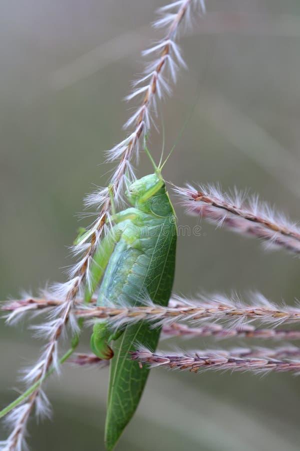 Zielony pasikonik na roślinie w ogródzie obraz royalty free