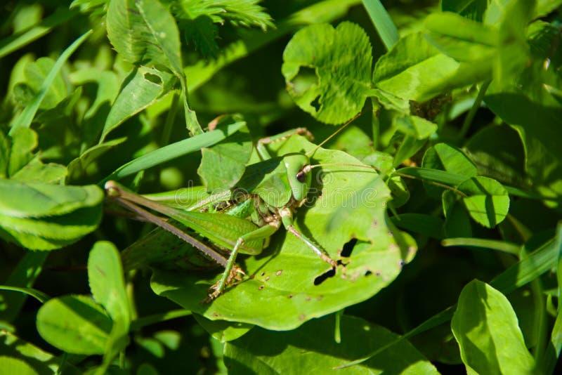 Zielony pasikonik na zielonej trawie obrazy stock
