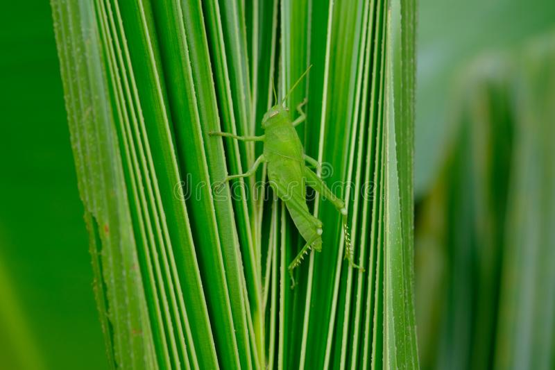 Zielony pasikonik obrazy stock