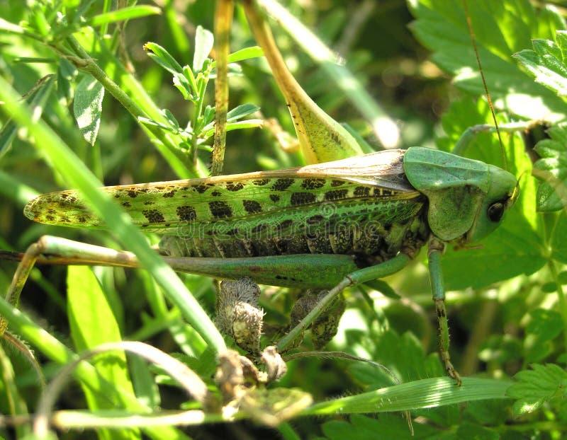 Zielony pasikonik siitting w trawie zdjęcie stock