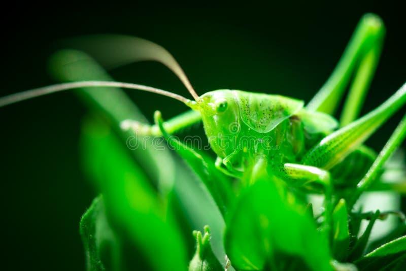 Zielony pasikonik, w górę, Wielki zielony krykiet, Orthoptera, członkonogi obrazy stock