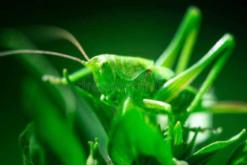 Zielony pasikonik, w górę, Wielki zielony krykiet, Orthoptera, członkonogi zdjęcia stock