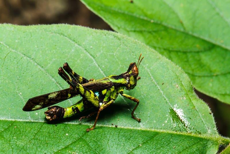 zielony pasikonika liść obraz royalty free