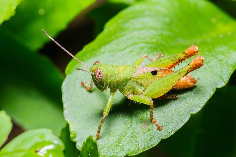 zielony pasikonika liść zdjęcia royalty free