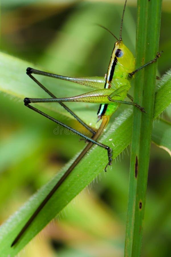zielony pasikonika li?? fotografia stock