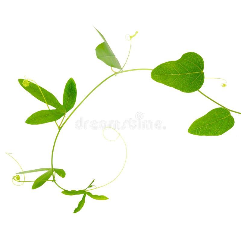 Zielony passionflower rośliny zakończenie up odizolowywa na bielu zdjęcia stock