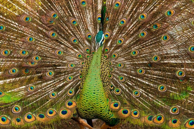 Zielony Peafowl zdjęcia royalty free