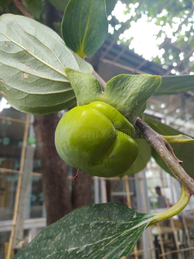 zielony persimmon fotografia stock
