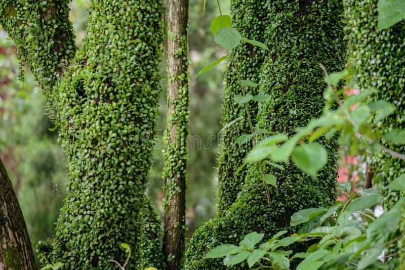 Zielony piękny bluszcz na drzewach w lasowej Lantau wyspie, Hong Kong obrazy stock
