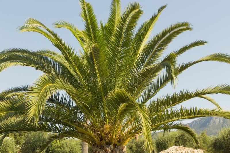 Zielony piękny drzewko palmowe i błękitny lata niebo zdjęcie royalty free