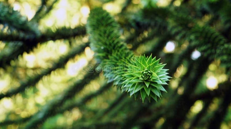Zielony pinetree opuszcza teksturę w lesie zdjęcie royalty free