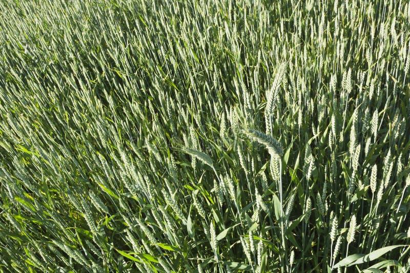 Zielony pole adra w opóźnionej wiośnie na słonecznym dniu zdjęcia royalty free