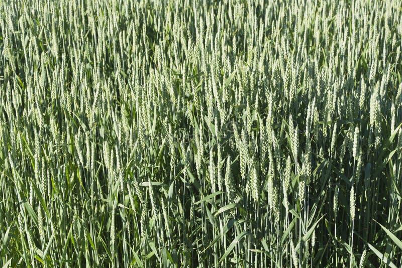 Zielony pole adra w opóźnionej wiośnie na słonecznym dniu obrazy royalty free