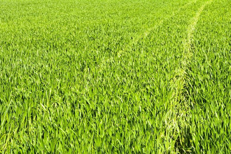 Zielony pole adra w opóźnionej wiośnie na słonecznym dniu fotografia royalty free