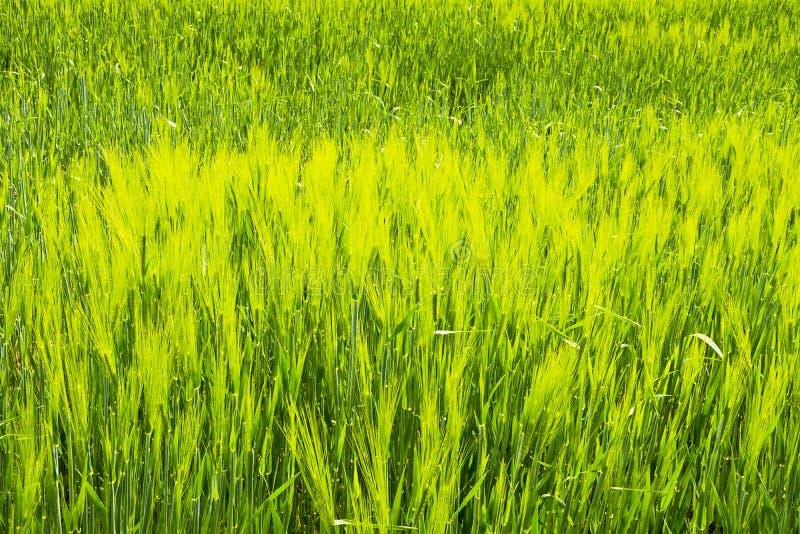 Zielony pole adra w opóźnionej wiośnie na słonecznym dniu obrazy stock