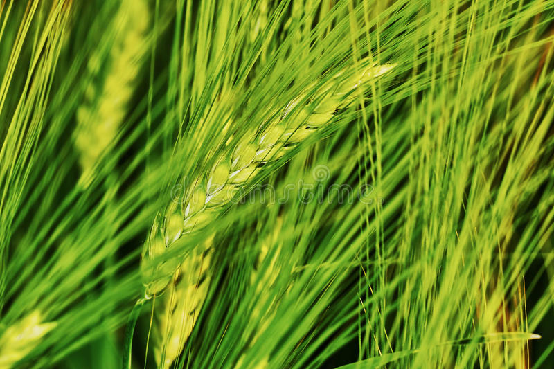 Zielony pole jęczmień zdjęcie royalty free