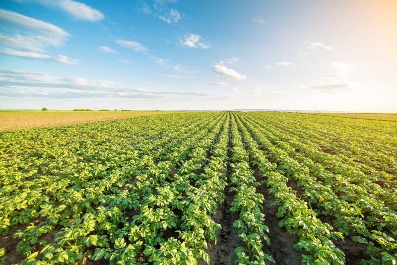 Zielony pole kartoflane uprawy z rzędu fotografia stock