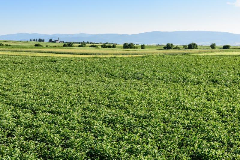 Zielony pole kartoflane uprawy z rz?du pola rolnicze obraz royalty free