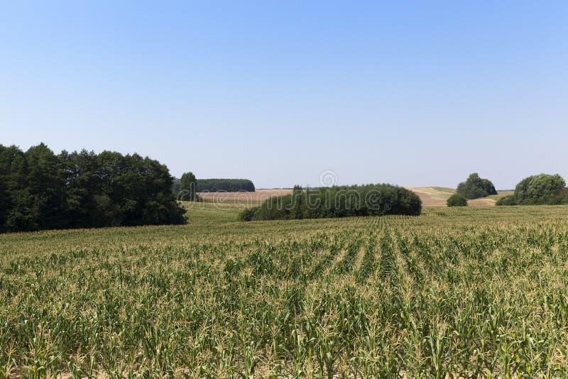 Zielony pole kukurudza obrazy stock