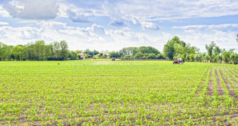 Zielony pole młoda kukurudza z ciągnikowym i chmurnym niebem zdjęcie royalty free