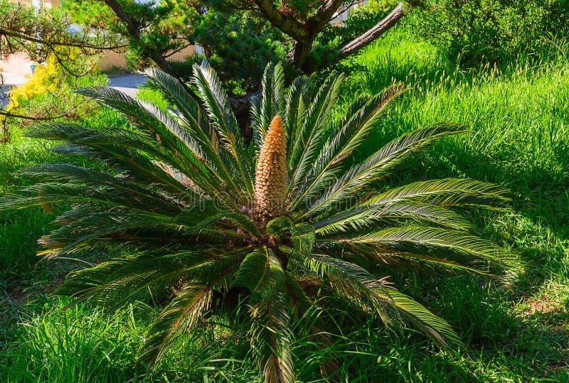 Zielony pole palma r obok sosnowego jałowa w harmonii i harmonii zdjęcie stock
