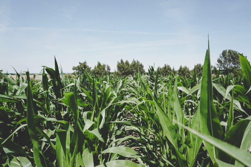 Zielony pole uprawne w lecie z niebieskim niebem i drzewami obraz stock