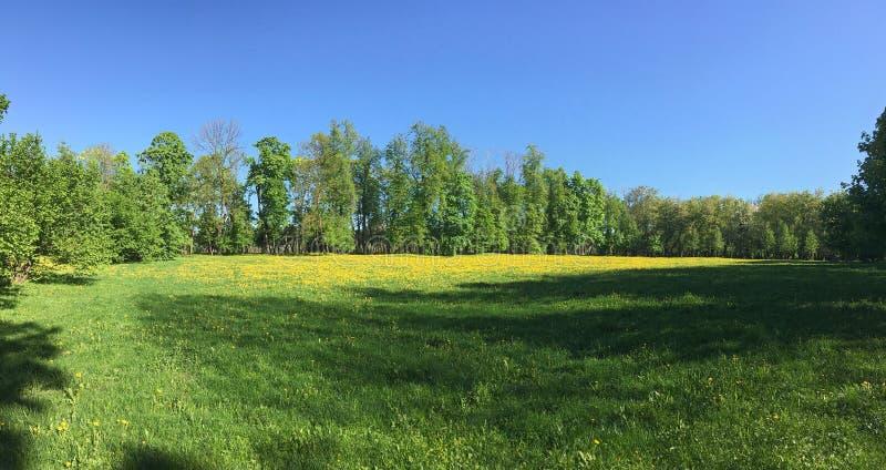 Zielony pole z żółtymi dandelions pod niebieskim niebem niebieska spowodowana pola pełne się chmura dzień zielonych roślin krajob zdjęcia stock