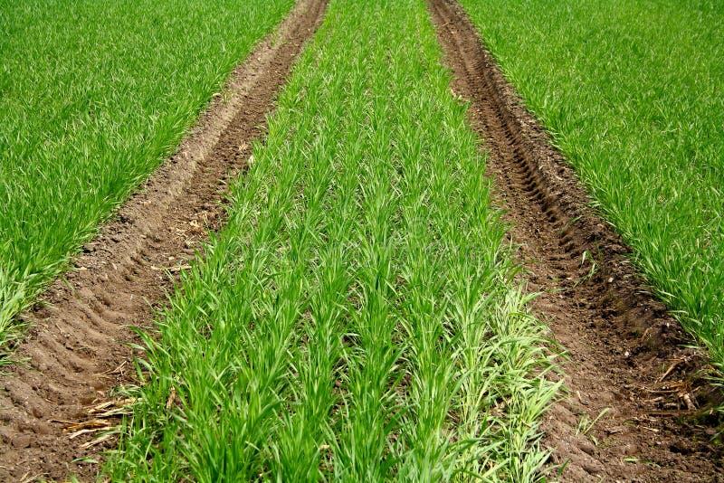 Zielony pole z młodą pszeniczną rośliną i ciągnik tropimy fotografia royalty free
