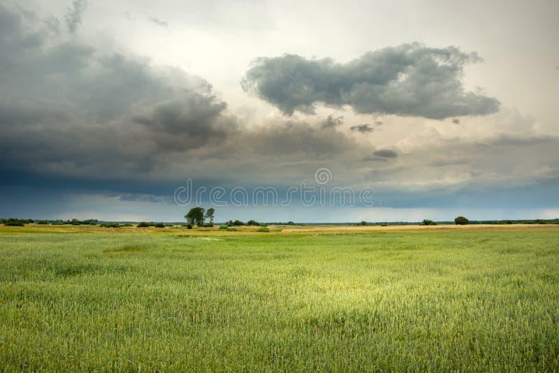 Zielony pole z zbożowym i chmurnym niebem obrazy stock