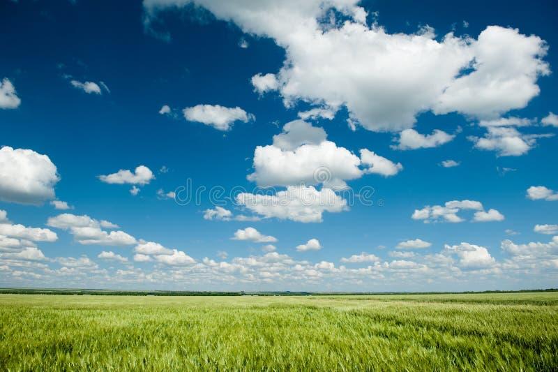Zielony pszenicznego pola i niebieskie niebo wiosny krajobraz obrazy royalty free