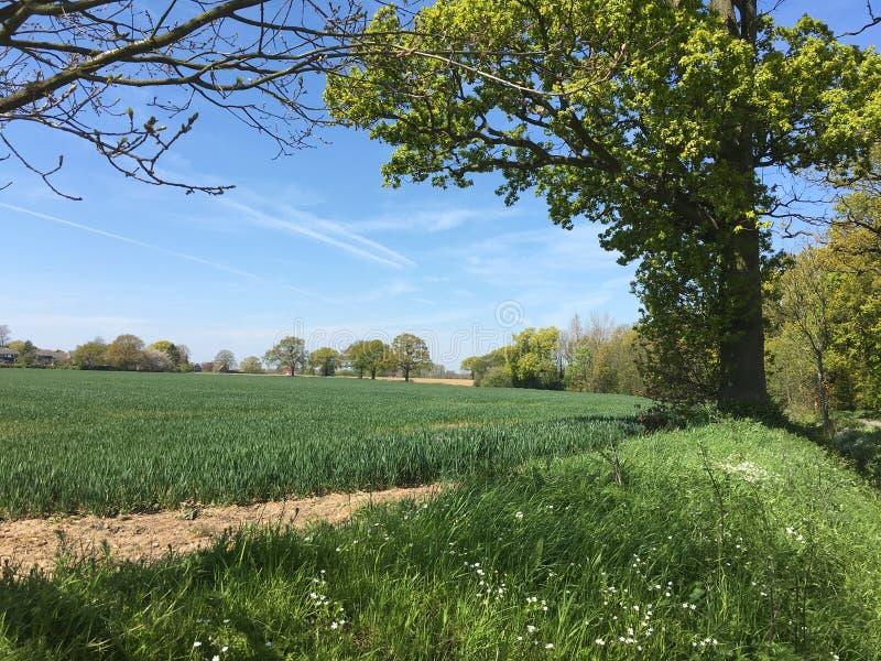 Zielony Pszeniczny pole I niebieskie niebo z drzewami obrazy royalty free
