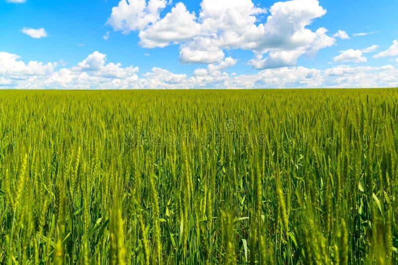 Zielony pszeniczny pole pod pięknym chmurnym niebem zdjęcie royalty free