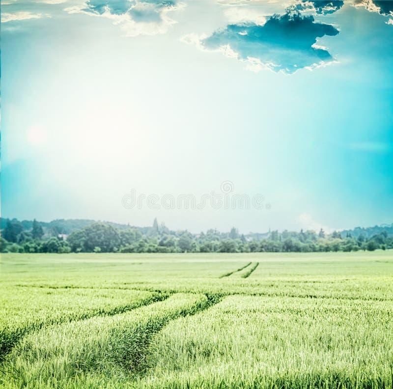 Zielony pszeniczny pole przy niebieskim niebem, Wiejski rolnictwa lub uprawiać ziemię krajobraz z śladami ciągnik fotografia royalty free