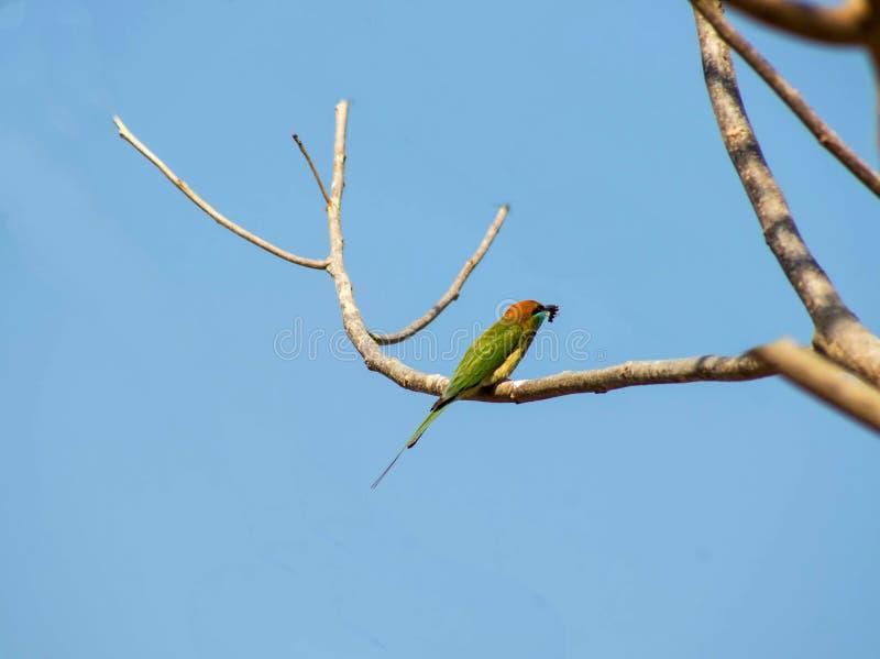 Zielony ptak na gałąź obrazy royalty free