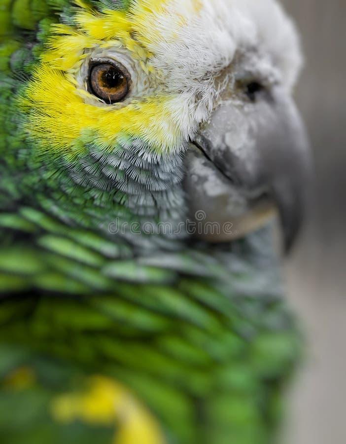Zielony ptasi upierzenie, Arlekińska ara upierza, natury tekstury bac obrazy royalty free