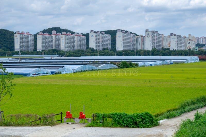 Zielony ryżowego irlandczyka pole i zieleni domy wokoło obszaru zamieszkałego aroun Suncheoun miasta zdjęcie stock