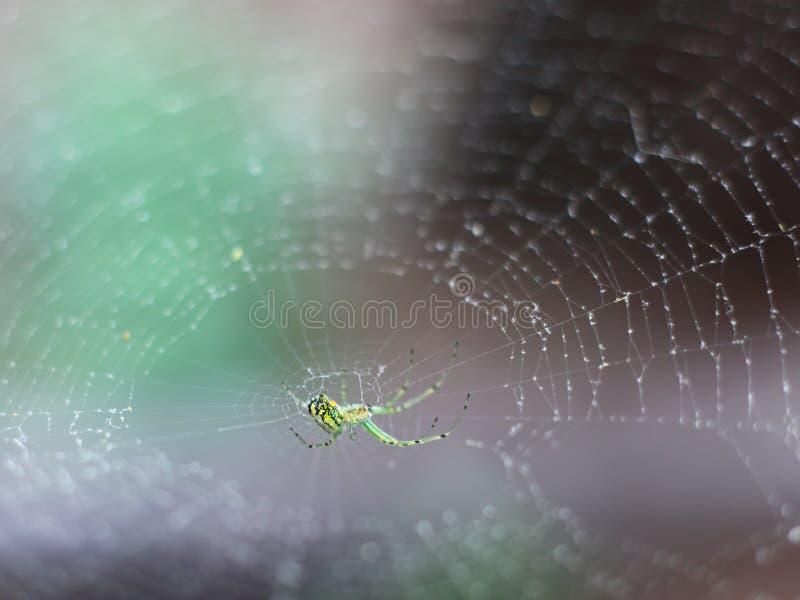Zielony rysia pająk po środku sieci fotografia stock