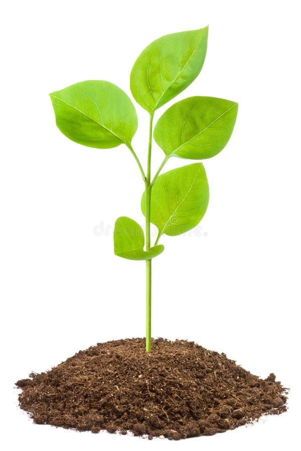 zielony sapling zdjęcia stock