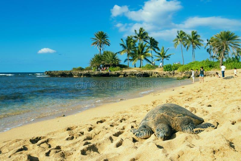 Zielony seaturtle przy plażą Haleiwa fotografia royalty free