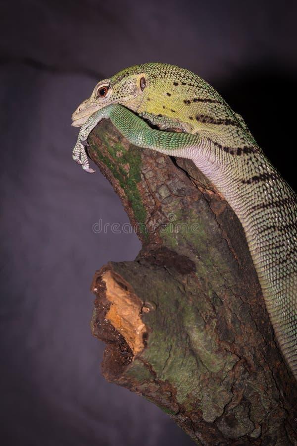 Zielony skink zdjęcie stock