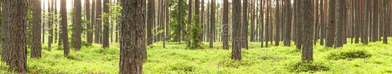 Zielony sosna las w lecie fotografia stock