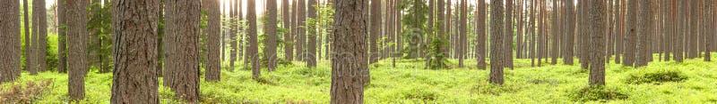 Zielony sosna las w lecie obraz royalty free