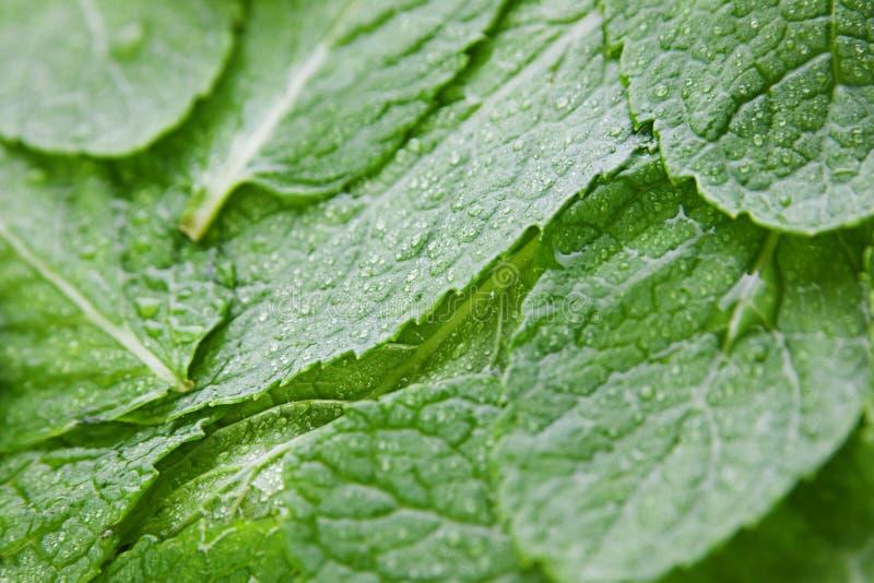 zielony spearmint obraz stock