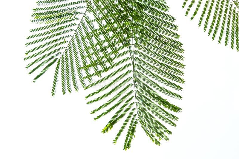 Zielony sprig liście zdjęcie royalty free